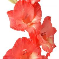 Gladiolus Grootbloeming