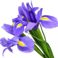 Iris (vaste plant) antropurpurea