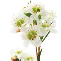 CHAMELAUCIUM (Wax flower)