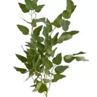 Eculayptus