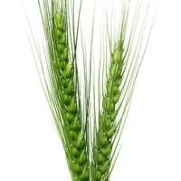 Triticum (Wheat)